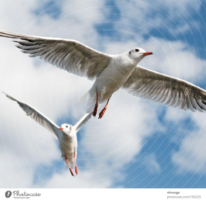 Die Möwen Ferien & Urlaub & Reisen Ausflug Ferne Freiheit Tier Luft Himmel Wolken Vogel Flügel Möwenvögel 2 Tierpaar fliegen ästhetisch elegant Mut Ausdauer