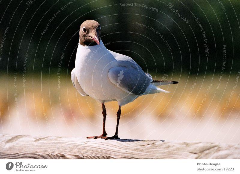 Mobile Alt-Brot-Vernichtungseinheit in Zingst Meer Strand See Vogel Ostsee Möwe Darß maritim Zingst Fischland Möwenvögel