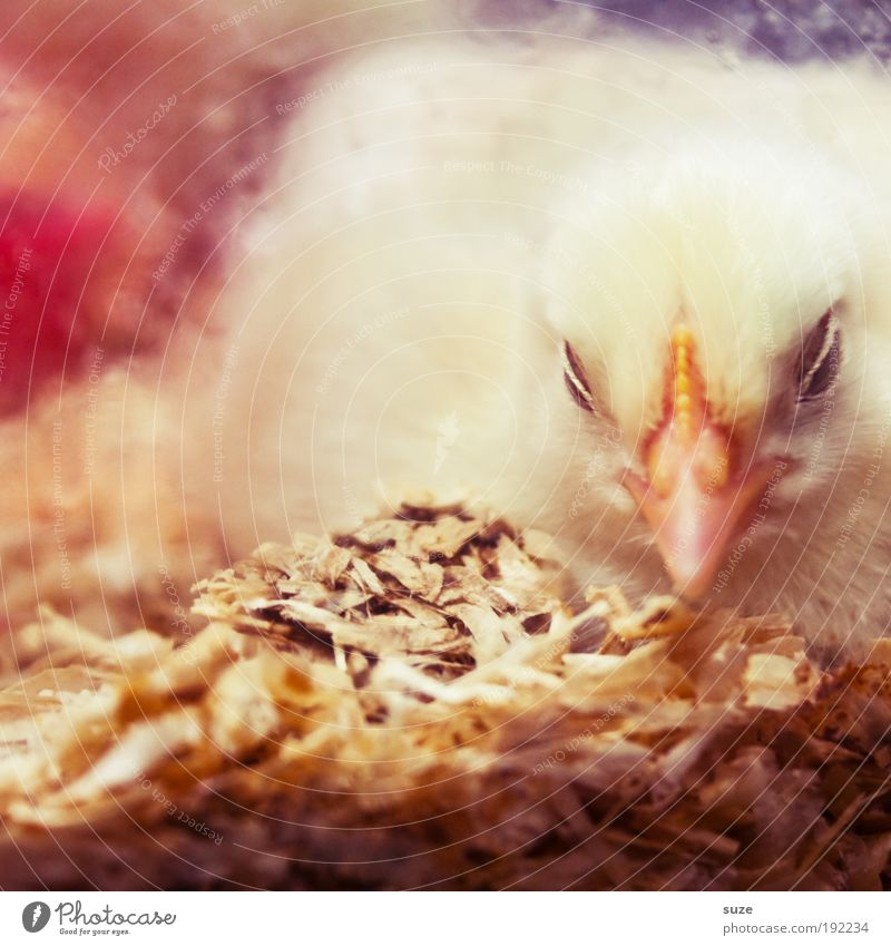 Psssst ... schön Tier gelb Glück Wärme Tierjunges Beginn schlafen frisch weich Tiergesicht Schutz niedlich Geborgenheit Schnabel Landwirtschaft