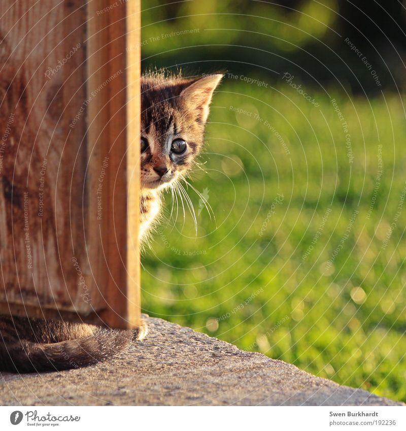 Ich habe Angst Sommer Schönes Wetter Gras Tür Tier Haustier Katze Fell 1 Tierjunges Beton Holz berühren füttern streichen kuschlig natürlich wild braun grau