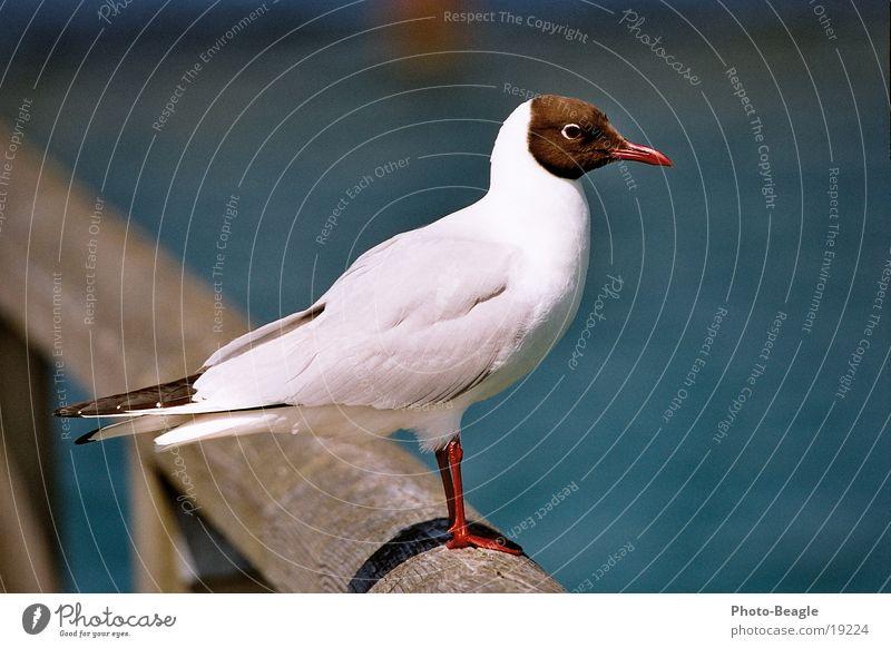 La Paloma ohe Meer See Vogel Ostsee Möwe Darß maritim Zingst Fischland Möwenvögel