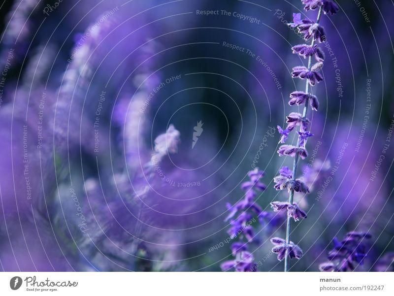 Lavendel Natur Blume Sommer ruhig Blüte Park Zufriedenheit Gesundheit Design frisch Fröhlichkeit Sträucher violett Freundlichkeit Duft harmonisch