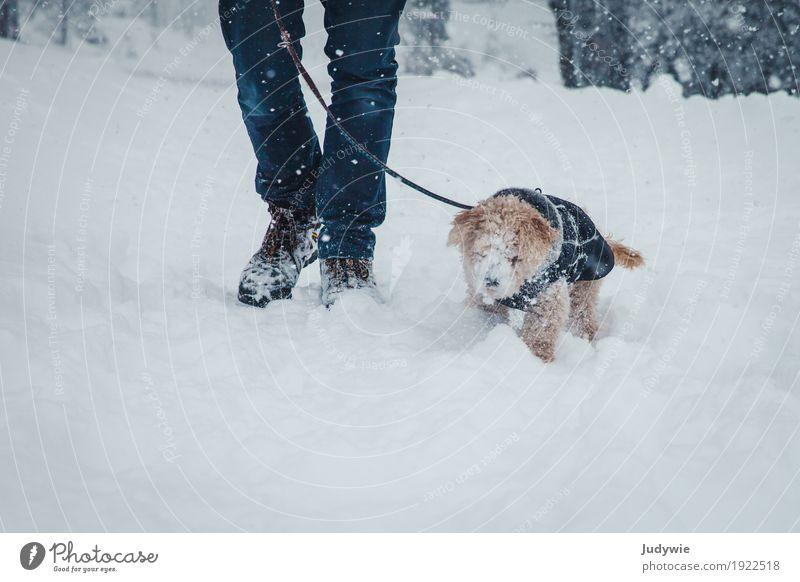 Schnee, überall Schnee! Winter Winterurlaub Beine Umwelt Natur Klima Eis Frost Schneefall Wald Tier Haustier Hund Pudel Zwegpudel festhalten kämpfen wandern