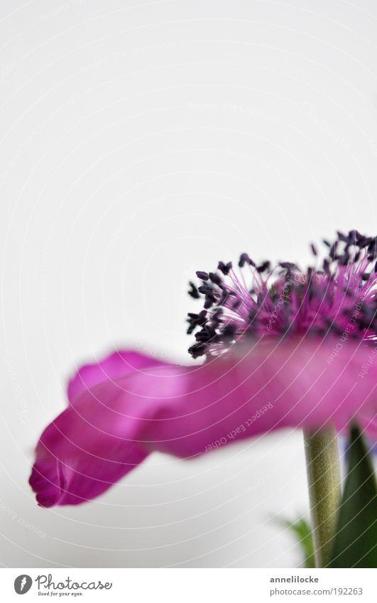 Anemone Pflanze Blume Blatt Blüte Anemonen Frühblüher Blütenblatt Pollen Park Duft Fröhlichkeit rosa Lebensfreude Frühlingsgefühle Leichtigkeit schön zart