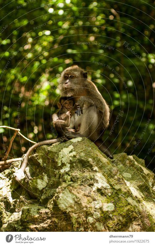 Affenbaby wird gesäugt Kind Natur Tier Wald Tierjunges Wachstum Wildtier Tiergruppe Schutz Mutter Vertrauen Duft Partnerschaft Urwald Fürsorge Erfahrung