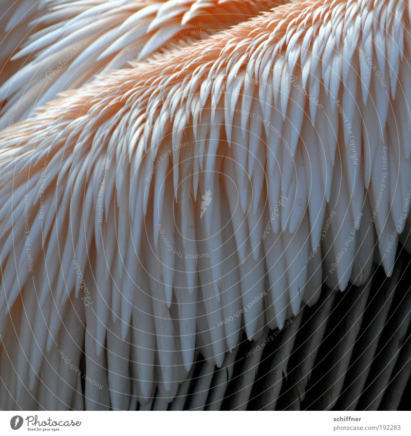 frisch gekämmt Natur Tier Vogel rosa Ordnung Feder Zoo Neigung gefiedert Pelikan Schräger Vogel