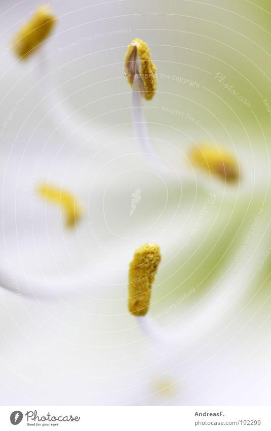 Amaryllis Natur Pflanze Blume gelb Frühling Blüte Wellness nah Biene Pollen Blütenblatt Staubfäden Makroaufnahme Licht Amaryllisgewächse