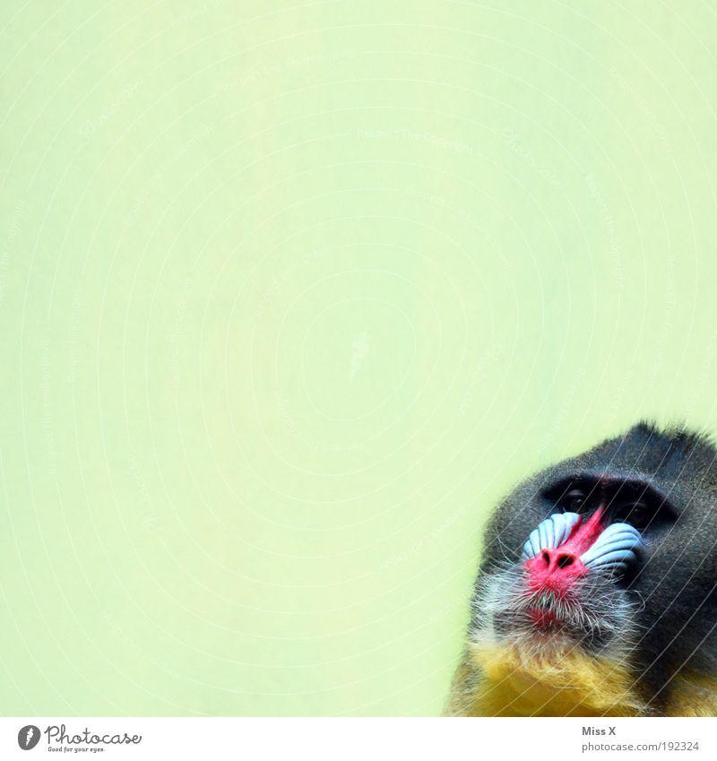 joah schau! dou sitzt jo oah Afferl ! Tier Wildtier Zoo 1 Blick exotisch Langeweile Pavian Affen Farbfoto mehrfarbig Innenaufnahme Menschenleer