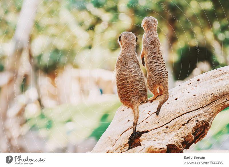 Erdmännchen oder Suricate Familie (Suricata Suricatta) in Afrika Familie & Verwandtschaft Natur Tier Baum Wald Wildtier 2 Tiergruppe Tierpaar beobachten