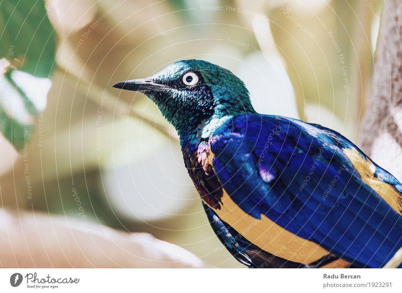 Goldenes Breasted Starling-Vogel-Porträt exotisch Natur Tier Sommer Baum Wald Wildtier Tiergesicht Flügel 1 beobachten Blick stehen hell schön niedlich blau