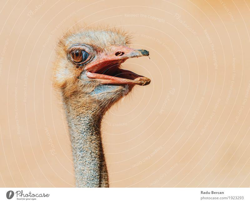 Lustiges Strauß-Vogel-Porträt Natur Tier Wildtier Tiergesicht 1 beobachten Blick Freundlichkeit lang lustig Neugier niedlich wild braun Kopf Tierwelt starren