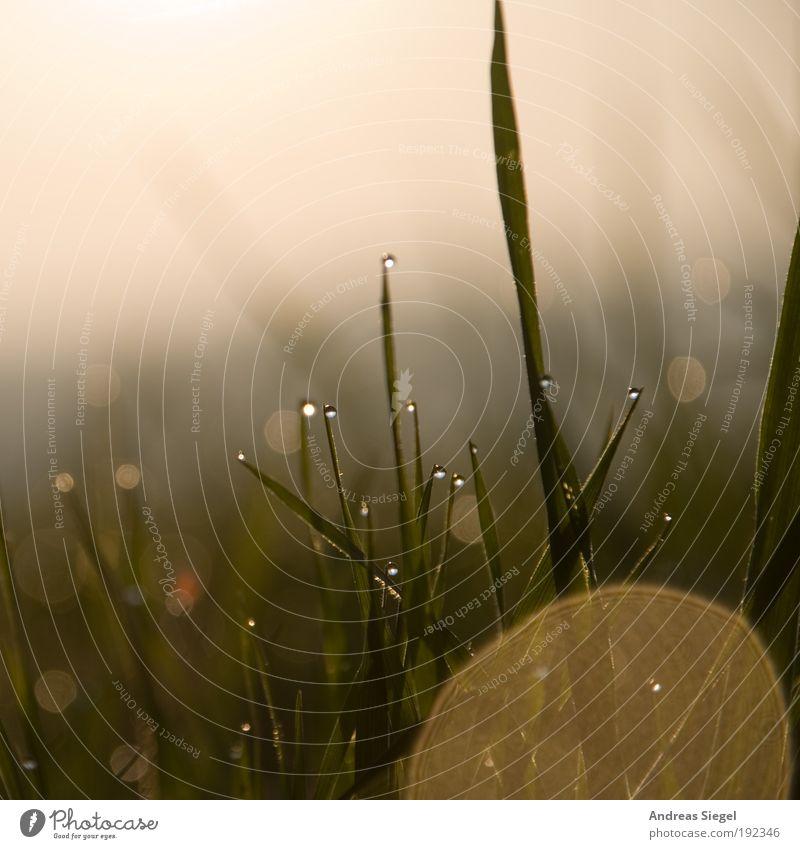 Morgengold II Umwelt Natur Landschaft Pflanze Erde Wassertropfen Wolkenloser Himmel Sonnenlicht Klima Wetter Schönes Wetter Gras Grünpflanze Wiese ästhetisch