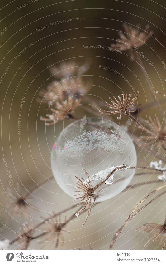 gefrorene Seifenblase hängt an getrockneter Dolde des Wiesenkerbels Freude Freizeit & Hobby Kinderspiel Natur Pflanze Winter Eis Frost Blume Garten Park Feld
