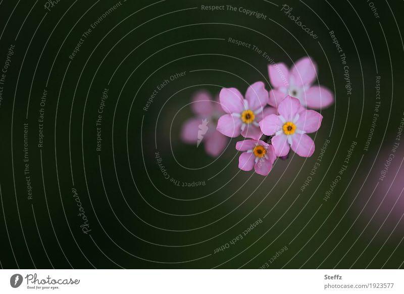 diesmal in rosa Valentinstag Natur Pflanze Frühling Blume Blüte Wildpflanze Vergißmeinnicht Rosylva Gartenblume Frühlingsblume Blütenblatt Waldblume Blühend