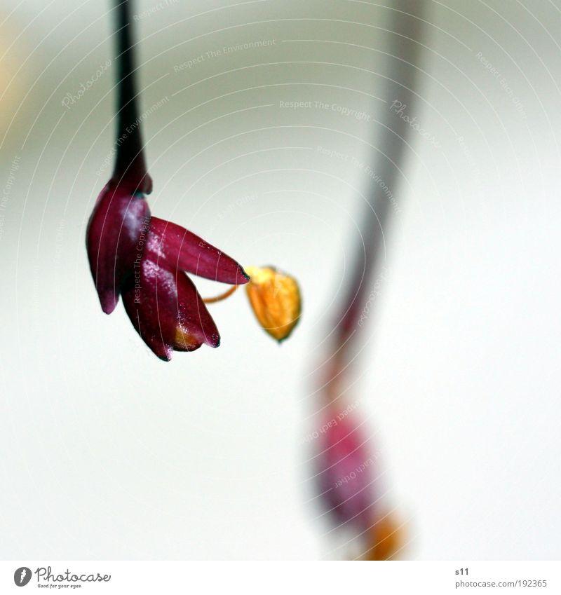 little wonder Natur Pflanze Frühling Sommer Blume Blüte exotisch ästhetisch elegant schön niedlich gelb gold rosa Vergänglichkeit Globba Zingiberaceae Freude