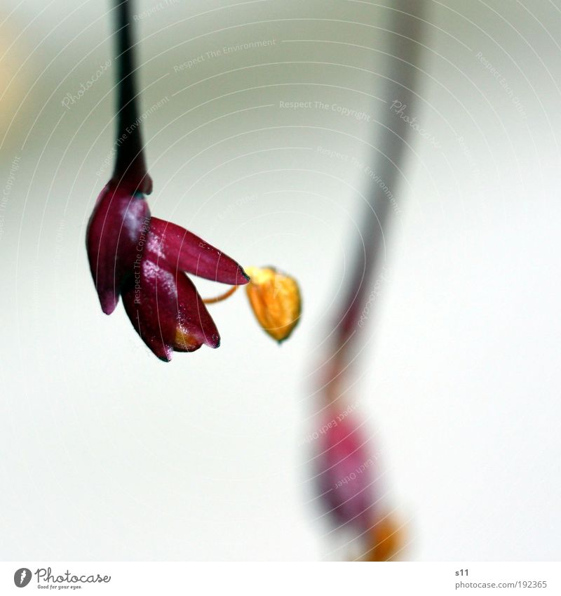 little wonder Natur Pflanze schön Sommer Blume Freude gelb Blüte Frühling rosa Dekoration & Verzierung elegant gold ästhetisch Vergänglichkeit niedlich