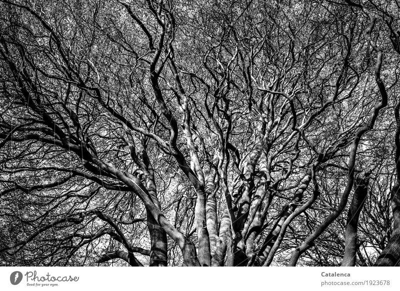 Verästelungen Winter Schönes Wetter Baum Buche Ast Zweig Wald Wachstum authentisch groß grau schwarz weiß Stimmung Begeisterung Macht Leben Senior Kraft Natur
