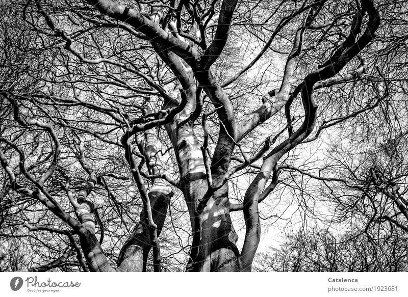 Nach oben schauen Natur Pflanze Winter Baum Buche Wald Äste Zweige u. Äste Holz alt Wachstum groß grau schwarz weiß majestätisch Senior ästhetisch Umwelt