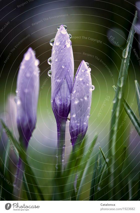 Krokusse V Natur Pflanze grün schön Blume Umwelt Blüte Frühling Garten braun Wachstum ästhetisch Fröhlichkeit Beginn Blühend violett