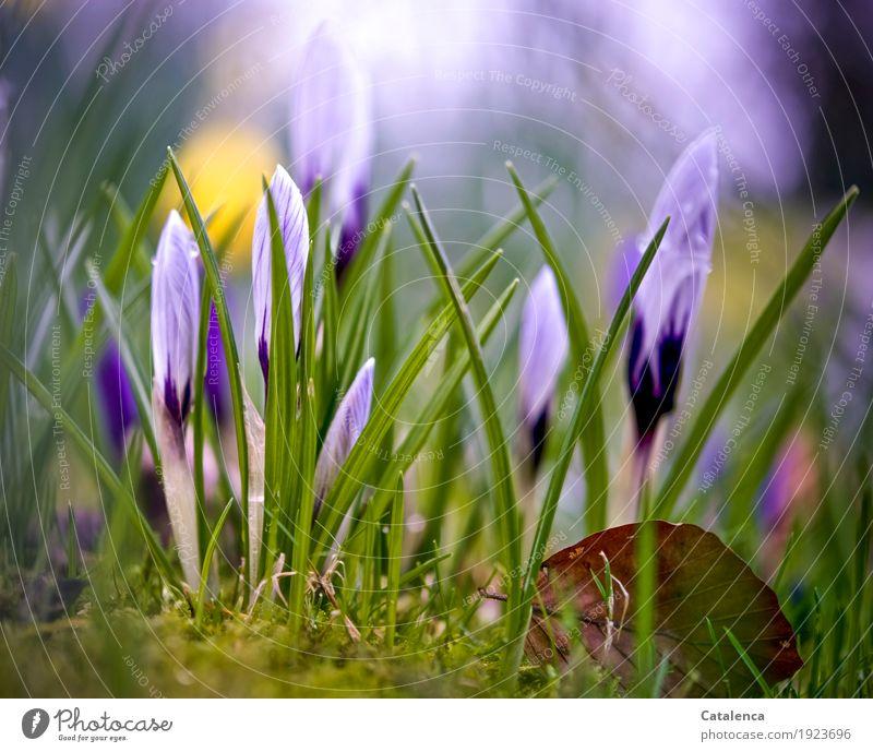 Krokusse III Natur Pflanze Wassertropfen Frühling Blume Blüte Garten Blühend Wachstum ästhetisch schön nachhaltig natürlich braun gelb grün violett rosa weiß