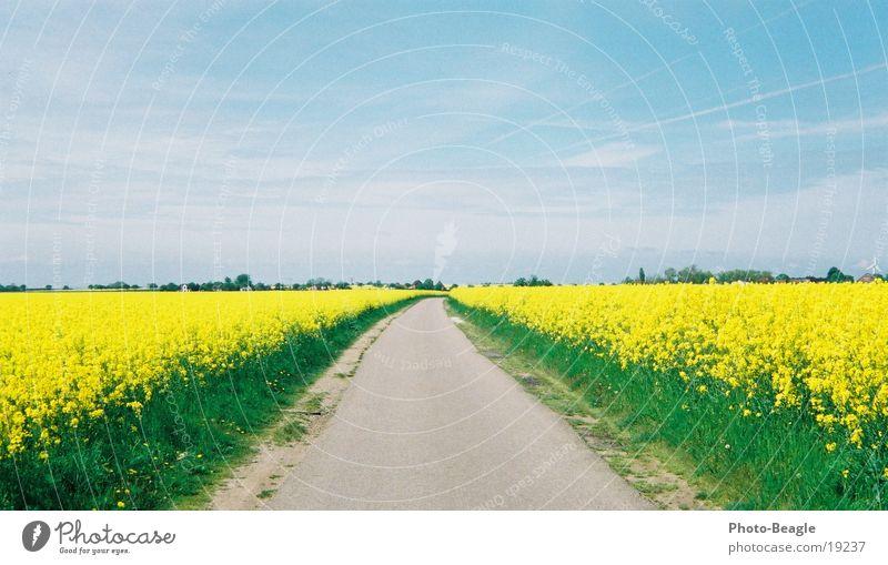 Frühlingsweg Raps Fehmarn Straße Wege & Pfade