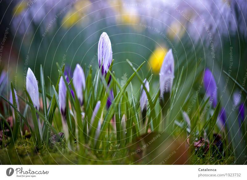 Krokusse Natur Pflanze Wassertropfen Frühling Blume Blüte Garten Blühend Wachstum ästhetisch schön natürlich gelb grün violett weiß Fröhlichkeit
