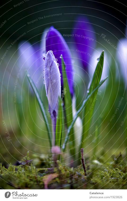 Krokusse IV Natur Pflanze Wassertropfen Frühling Blume Moos Blüte Garten Blühend Duft Wachstum ästhetisch schön nachhaltig braun grün violett weiß Fröhlichkeit