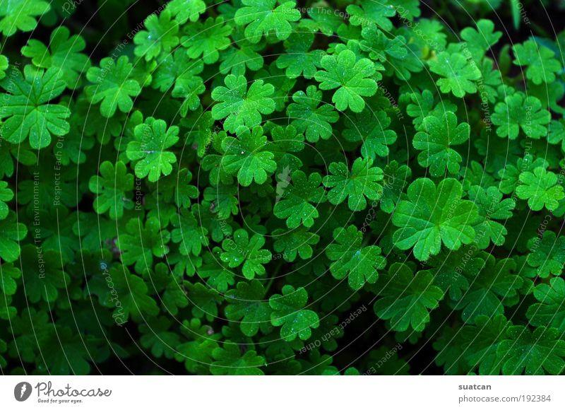 Natürliche Textur mit Kleeblättern Dekoration & Verzierung Umwelt Natur Pflanze Gras Blatt Wildpflanze Wiese Tropfen Wachstum Coolness frisch hell natürlich