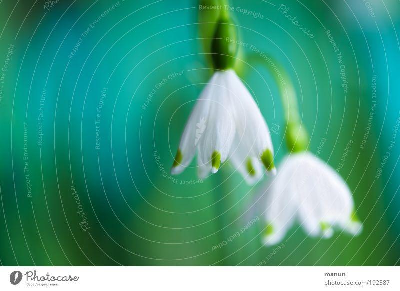 Narzissen Natur grün Farbe weiß Blume Frühling Blüte Feste & Feiern hell Park Design frisch Fröhlichkeit Freundlichkeit türkis Duft