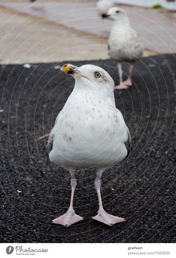 Neugierige Möwe Meeresvogel Tier Vogel Tierjunges Natur Schwarm Tierporträt Blick Auge Schnabel Feder stehen Erwartung Umwelt Ornithologie warten geduldig