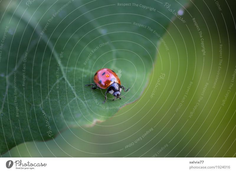 unscheinbares Detail | Tröpfchen Natur Pflanze Blatt Grünpflanze Tier Käfer Marienkäfer Siebenpunkt-Marienkäfer Insekt 1 krabbeln frisch niedlich oben positiv