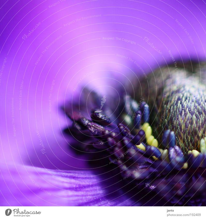 lilablume Natur schön Blume Pflanze Sommer Farbe Blüte Frühling elegant frisch violett natürlich Duft Makroaufnahme Geruch