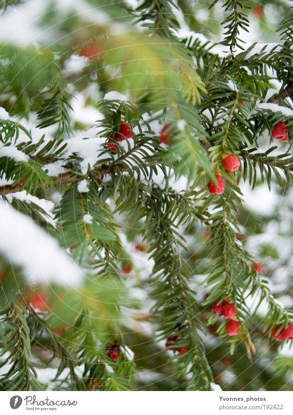Tricolore Natur weiß rot Winter kalt Schnee Eis Frost Spaziergang gefroren Tanne Gift Nadelbaum Tannennadel Holz Beeren