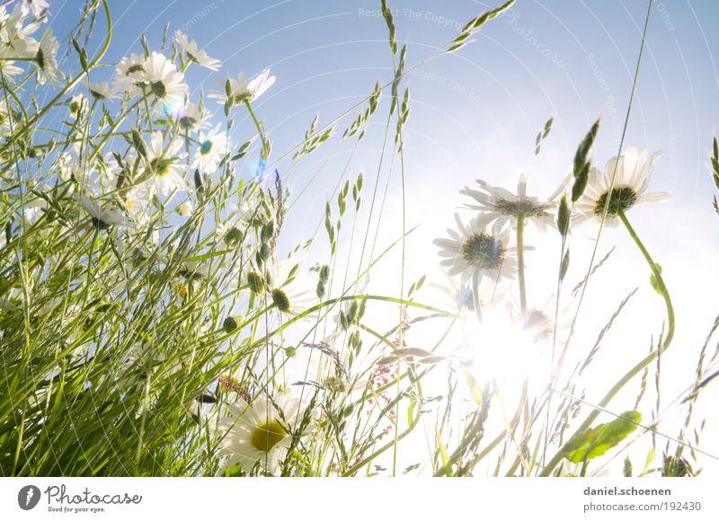 Gegenlichtsommerwiese weiß Sonne Blume grün blau Pflanze Sommer Ferien & Urlaub & Reisen Wiese Gras Frühling hell Sonnenbad Schönes Wetter Blumenwiese Margerite