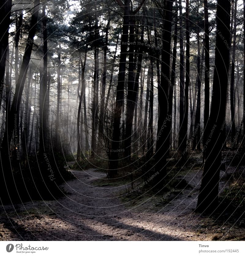 dawn is breaking Umwelt Natur Erde Schönes Wetter Baum Wald dunkel Stimmung Verschwiegenheit Einsamkeit Hoffnung ruhig Nadelwald Tanne Wege & Pfade