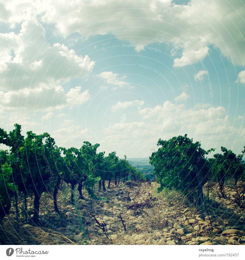 Châteauneuf-du-Pape Sommer Sommerurlaub Sonne Himmel Wolken Pflanze Nutzpflanze authentisch Weinbau Weinberg Weintrauben Weinblatt Weinlese Farbfoto