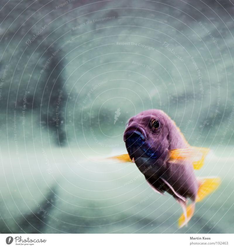 o ... o ... o .... Tier Traurigkeit Mund Freizeit & Hobby Schwimmen & Baden Fisch Kommunizieren Unterwasseraufnahme außergewöhnlich violett tauchen Quadrat
