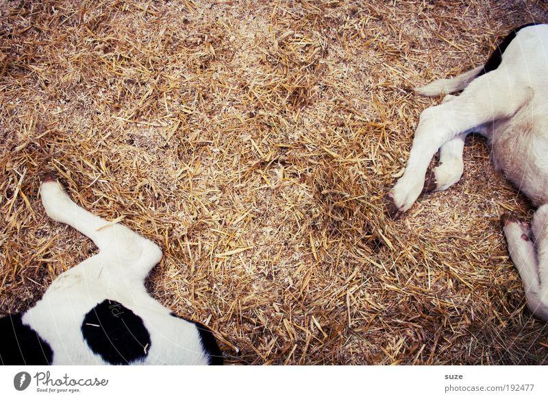 2 Kalbshaxen Tier Nutztier Kuh Tierpaar Tierjunges liegen schlafen authentisch einfach lustig trocken scheckig gefleckt Stroh Stall tierisch Säugetier Beine