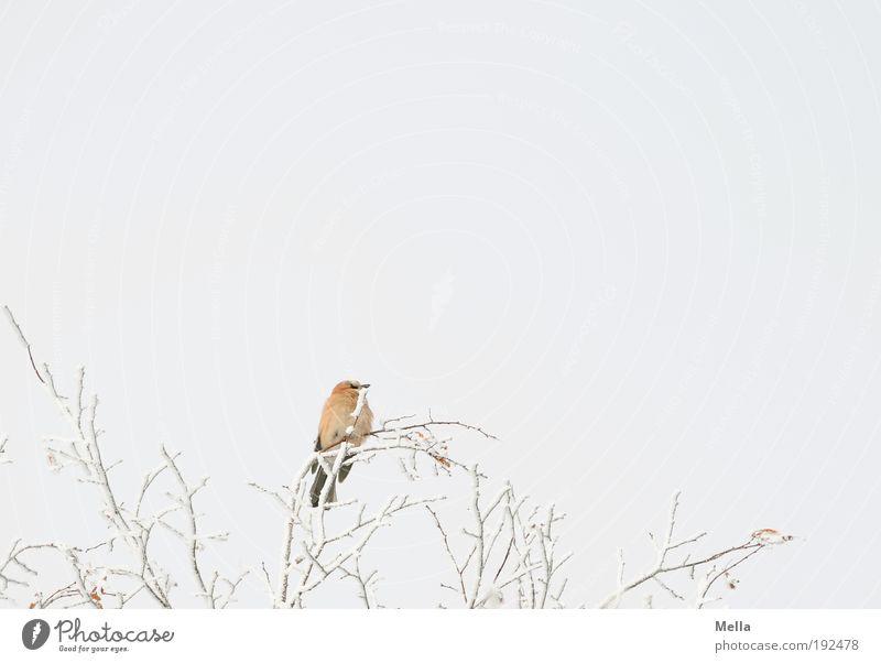 Obenauf Umwelt Natur Pflanze Tier Himmel Winter Klima Klimawandel Wetter Eis Frost Schnee Baum Ast Wildtier Vogel Eichelhäher 1 hocken sitzen frei hell schön