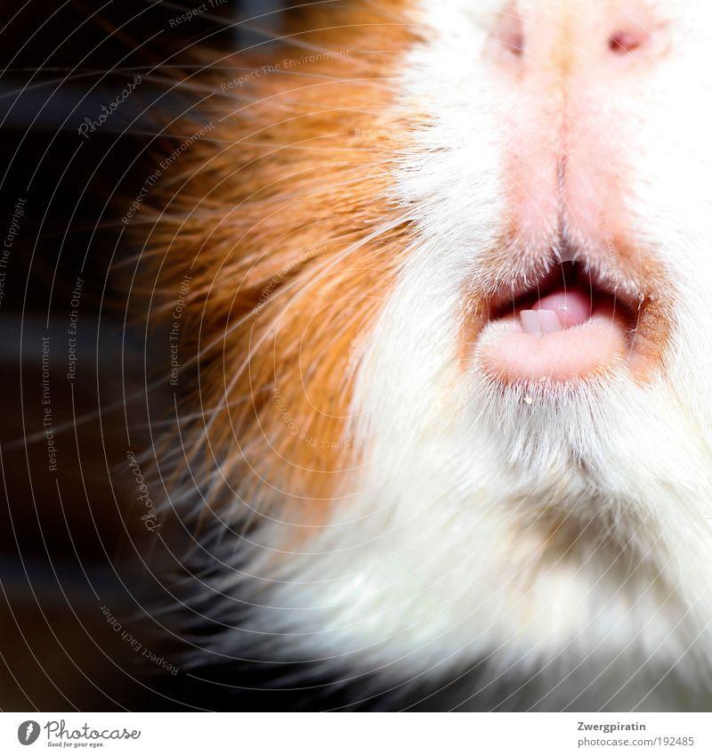 Kauleiste Tier Haustier Tiergesicht Fell Maul Nagetiere Meerschweinchen 1 füttern außergewöhnlich glänzend kuschlig lecker lustig nah Spitze braun rosa weiß