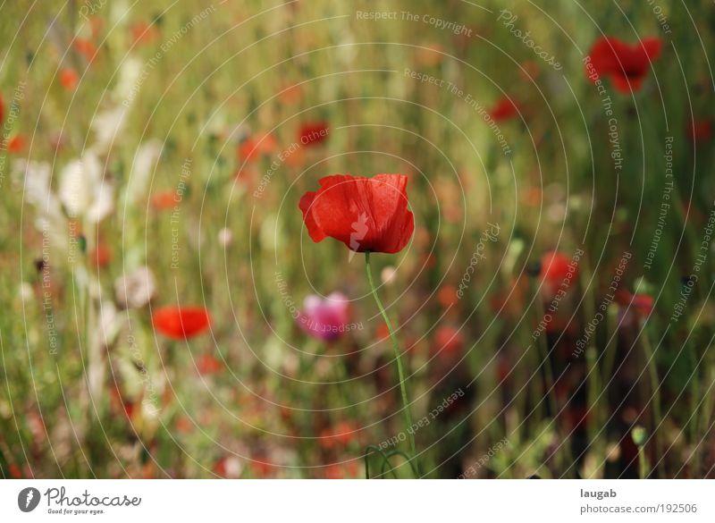 Mohnblume Natur grün rot Pflanze Blume Umwelt Gefühle Glück Blüte Zufriedenheit ästhetisch Mohn Stolz Ehrlichkeit Mohnblüte Kassel