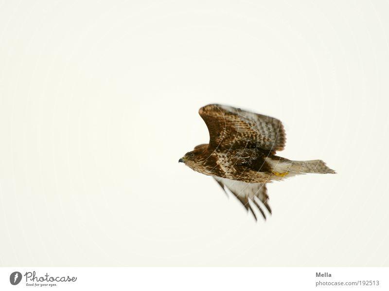 Flugstudie Umwelt Natur Tier Luft Himmel Wildtier Vogel Mäusebussard 1 fliegen frei hell natürlich Optimismus Kraft anstrengen Bewegung Freiheit Leben Farbfoto