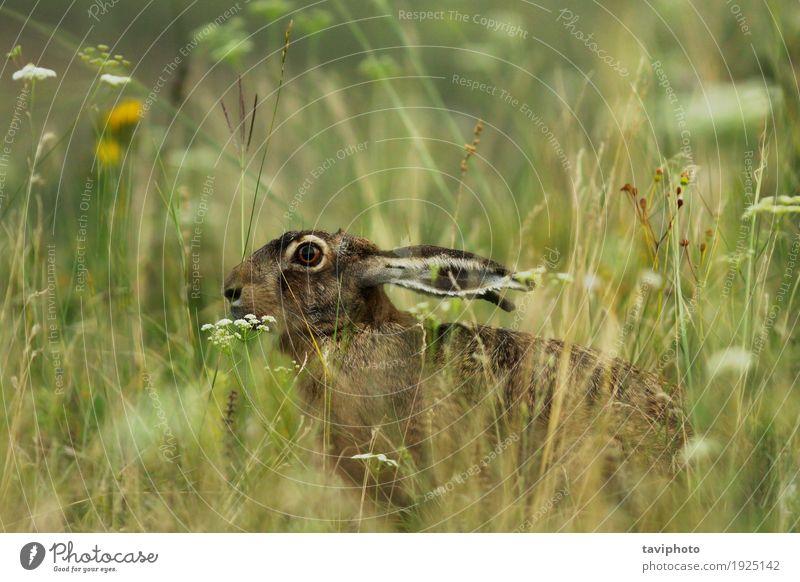 wilde Hasen, die sich im großen Gras verstecken Jagd Natur Tier Wiese natürlich niedlich braun grau grün Tierwelt lepus europaeus versteckend Ohren