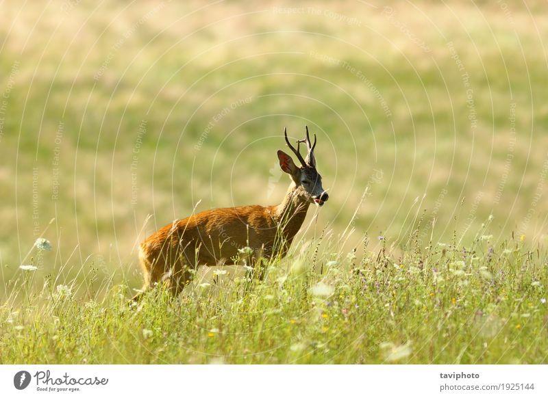wilder Rehdollar auf natürlicher Wiese schön Spielen Jagd Sommer Mann Erwachsene Natur Landschaft Tier Gras Wald Pelzmantel niedlich braun grün Hirsche Rogen