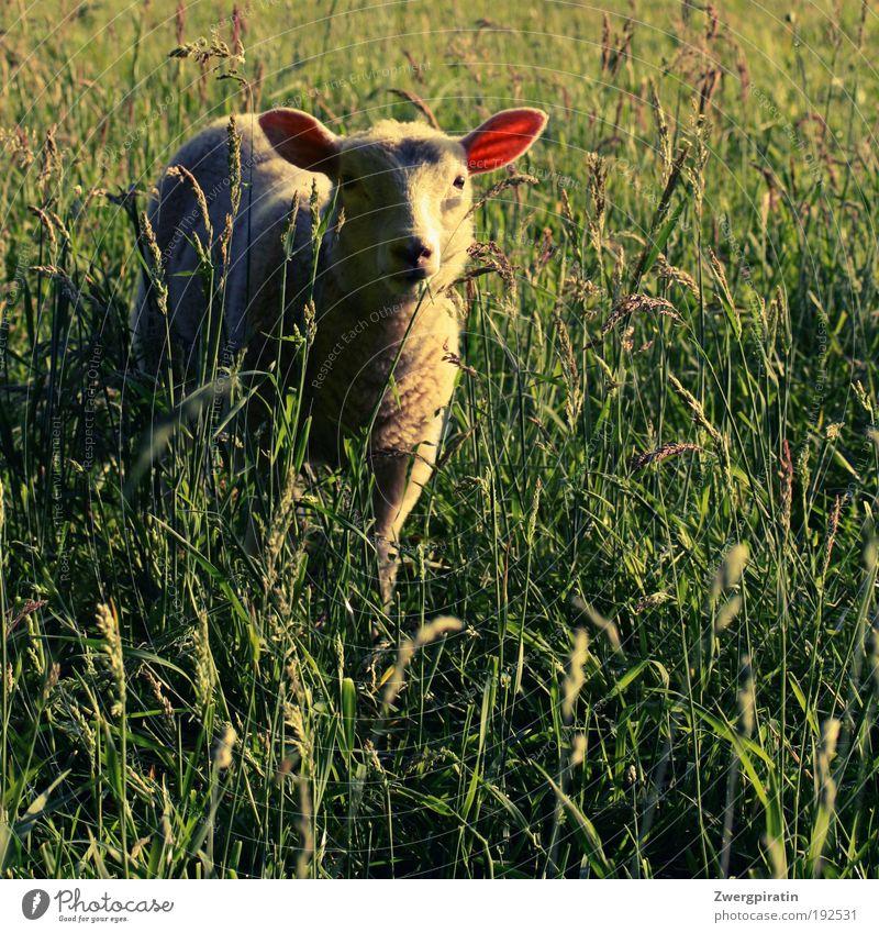 RasenMÄHer Natur Sommer Schönes Wetter Gras Wiese Tier Nutztier Fell Schaf Lamm Fressen stehen Glück kuschlig Neugier weich grün weiß Tierliebe gefräßig