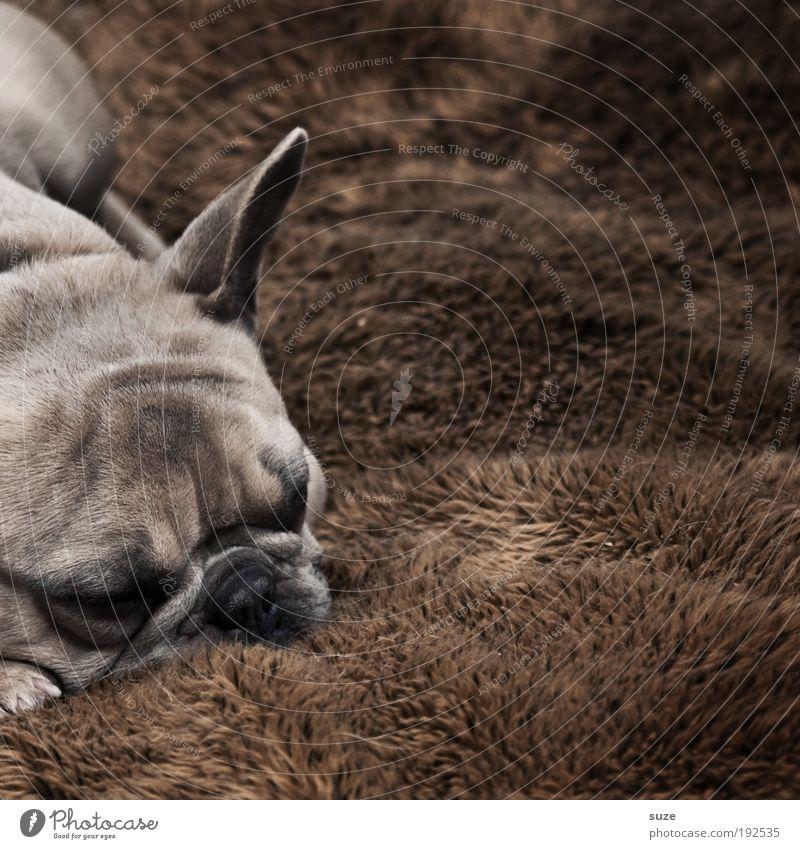 Hundeleben Tier Fell Haustier 1 schlafen träumen authentisch kuschlig klein niedlich braun Treue Dogge ruhen Halbschlaf Schnauze Säugetier Haushund Decke