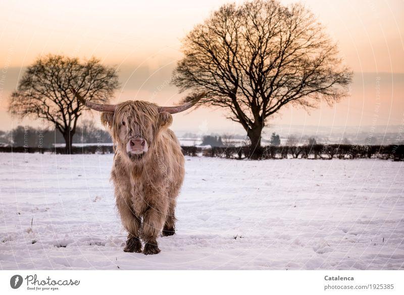 Prima Klima   Winterfell Natur Landschaft Pflanze Tier Himmel Horizont Sonnenaufgang Sonnenuntergang Schönes Wetter Eis Frost Schnee Baum Hecke Feld Rind