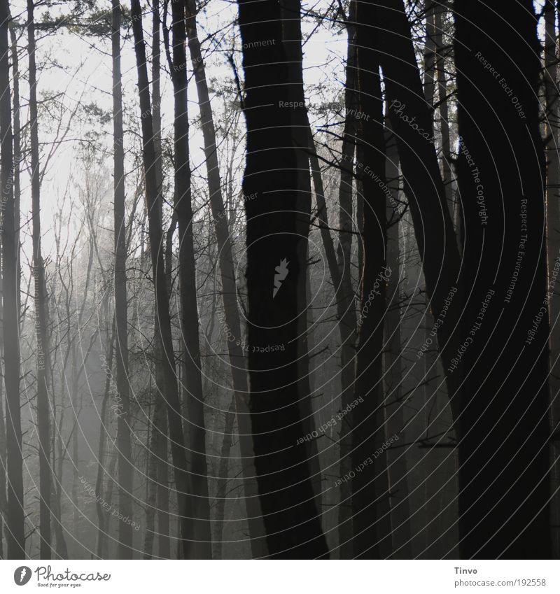 Waldgeflüster Natur Nebel Baum bedrohlich dunkel gruselig grau schwarz Gefühle Stimmung Kraft Verschwiegenheit ruhig Trauer Einsamkeit Angst Ast Zweig Tanne