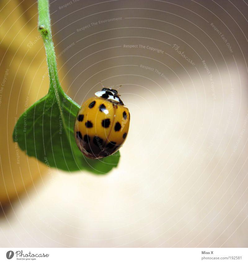 Glückskäfer Frühling Pflanze Blatt Topfpflanze Balkon Terrasse Tier Käfer 1 fliegen klein schön Gefühle Frühlingsgefühle Glücksbringer Marienkäfer Punkt