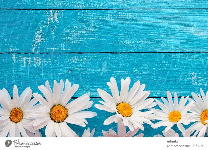Große weiße Gänseblümchen der Knospen auf einer blauen Holzoberfläche Natur alt Pflanze Sommer Blume gelb Aussicht Blühend Top Blütenblatt horizontal